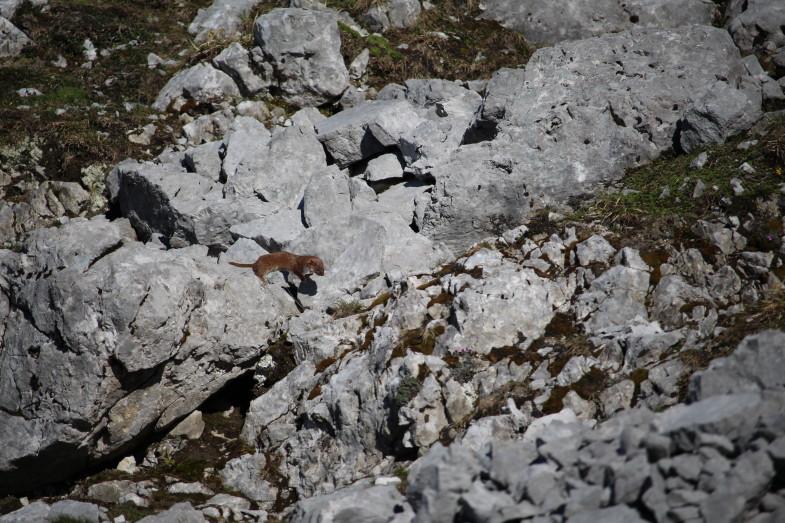 Ein Mauswiesel unterhalb der Wildangerspitze
