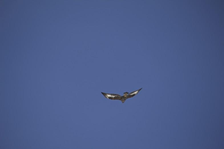 Junger Steinadler überfliegt uns