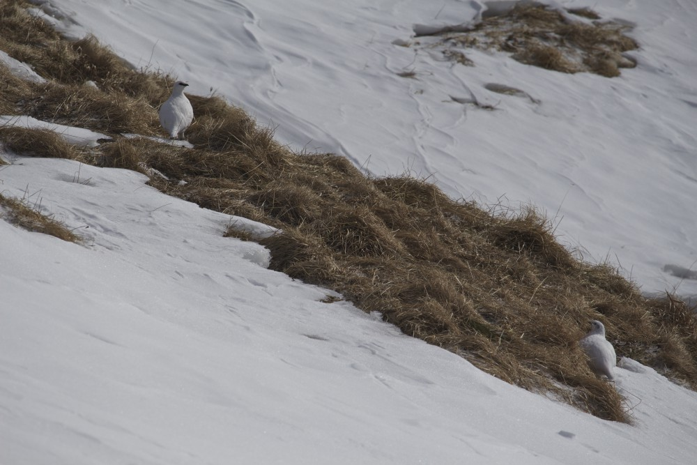 Schneehühner