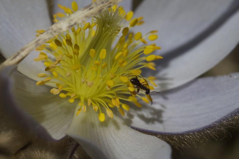 Ameise auf Küchenschelle