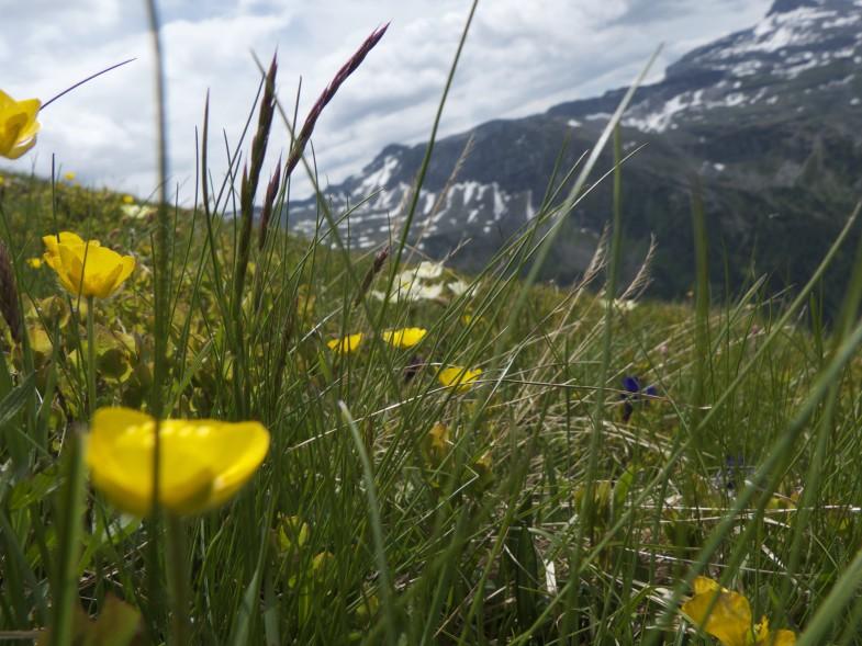 Blumen auf der Vennspitze