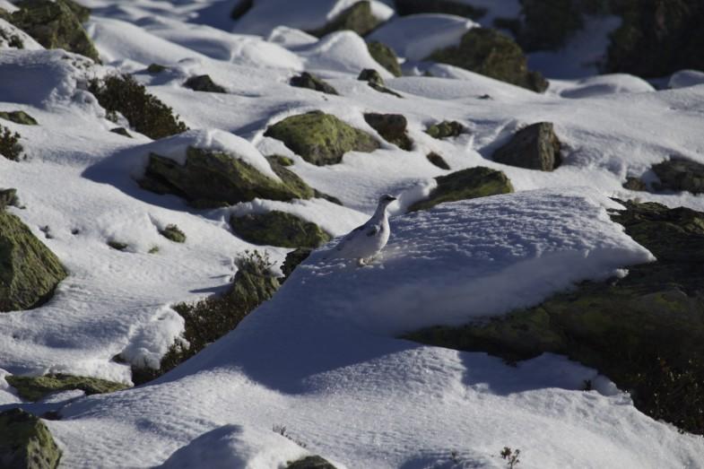 Schneehuhn