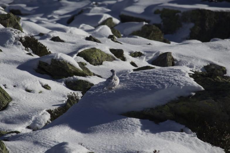 Eine Schneehenne ganz alleine unterwegs
