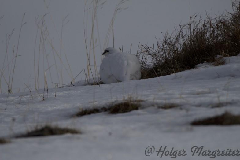 Dann erblicke ich früh genug einen Schneehahn und es gehen sich ein paar tolle Aufnahmen aus!