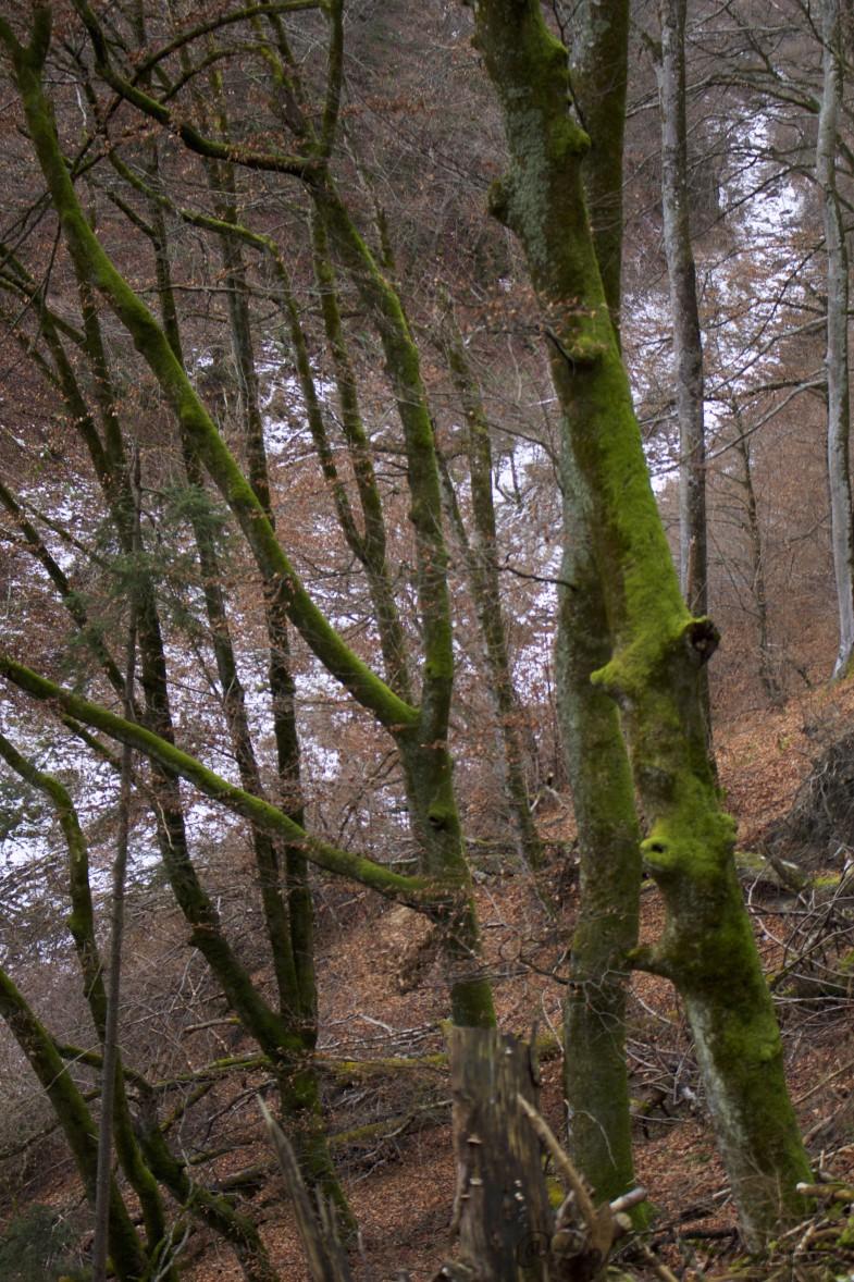 Moosbäume