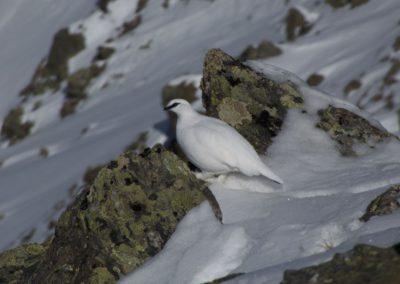 Schneehenne- gehört zu den Rauhfußhühnern