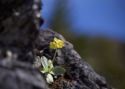 Frühlingsboten- Platenigl
