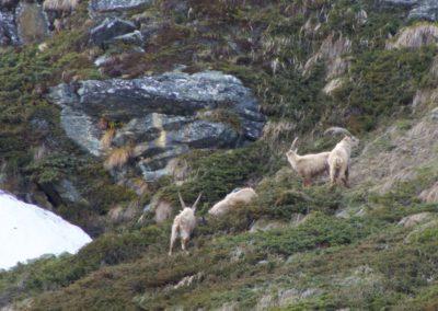 Steinböcke in Hüttennähe